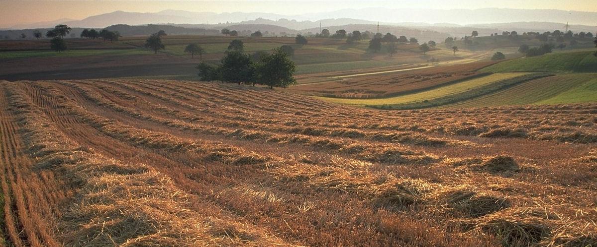Getreidefelder bei Minseln, Foto: Tourismus Rheinfelden