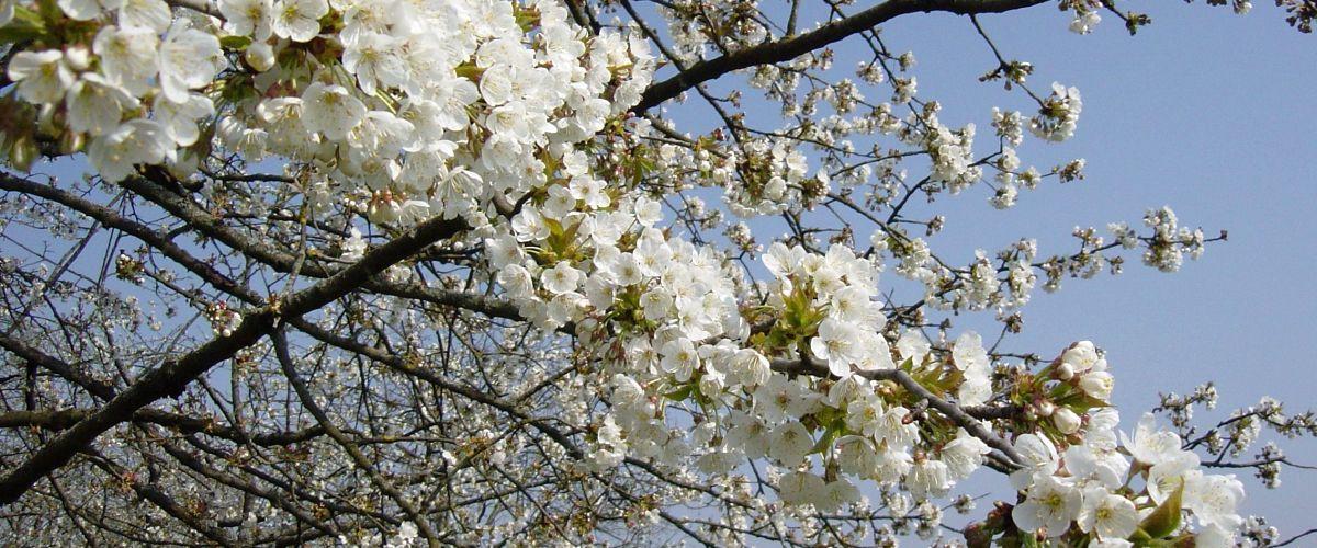 Kirschblüte in Grenzach-Wyhlen