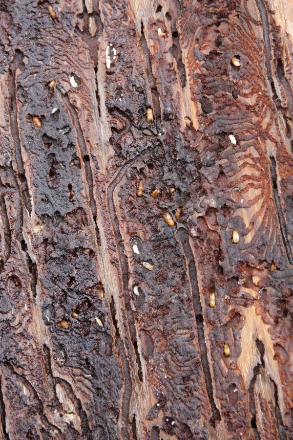 Von Borkenkäfern befallenes Holz © FVA Abt. Waldschutz