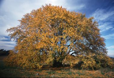 Baum_Logo Naturdenkmale
