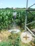 Pheromonfalle im Mais