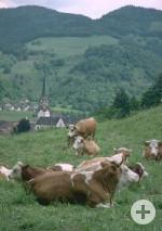 Kühe auf Weidfeld vor Schönau