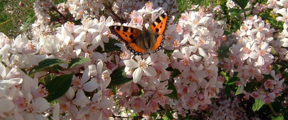 Ein Schmetterling Kleiner Fuchs sitzt auf einer Blüte