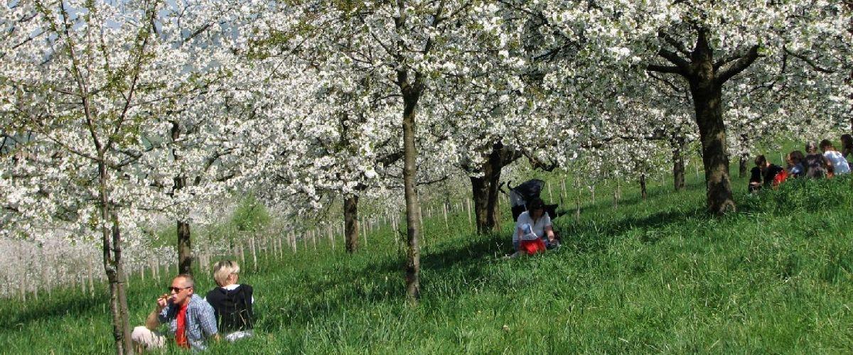 Blühende Kirschbäume im Eggenertal
