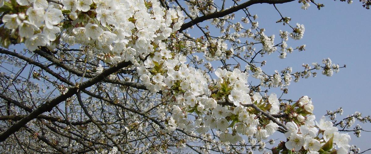 Detailansicht eines blühenden Obstbaums