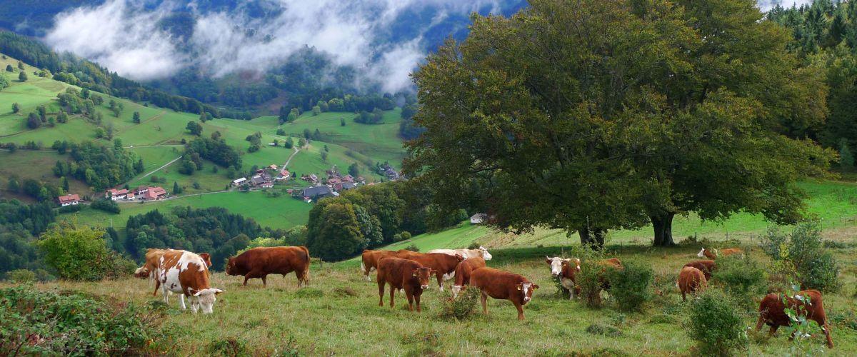 Kühe auf einer Weide, im Hintergrund die Gemeinde Aitern.