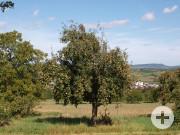 Alter Apfelbaum bei Ötlingen