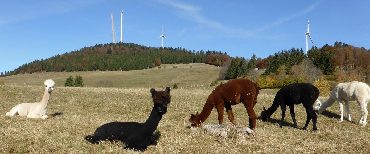 Alpakas bei Gersbach mit Windkrafträder im Hintergrund