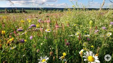 Blumenbunte Wiesen bei Löffingen als Spenderflächen für Blumenwiesensamen