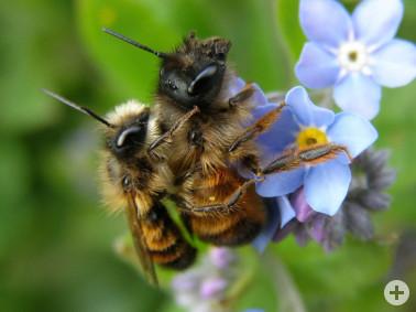Ein Pärchen der Rostroten Mauerbiene