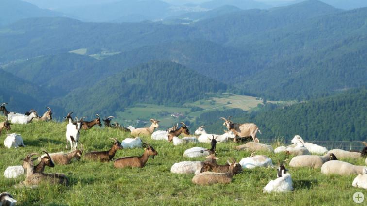 Ziegen grasen auf einem Berg im Schwarzwald