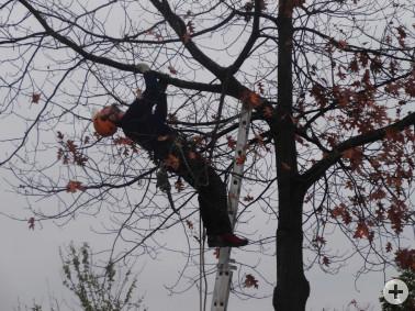 Baumkletterer auf der Suche nach Befallssymptomen des Asiatischen Laubholzbockkäfers (©Landratsamt Lörrach)