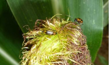 Maiswurzelbohrer auf einer Maispflanze ©Imgraben