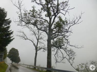 Tote und geschädigte Bäume entlang der L 123 bei Wieden gefährden die Verkehrssicherheit: Absterbende Eschen (Bild 1)