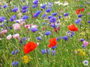Bunte Blumen auf einer Wiese
